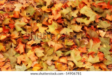 The colourful Autumn Background is made of maple leaves. - stock photo