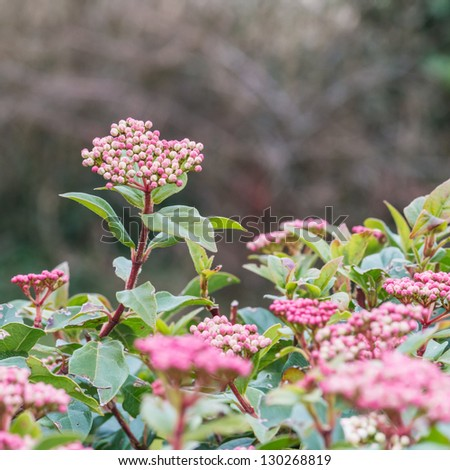 The colourful buds of a viburnum bush. - stock photo