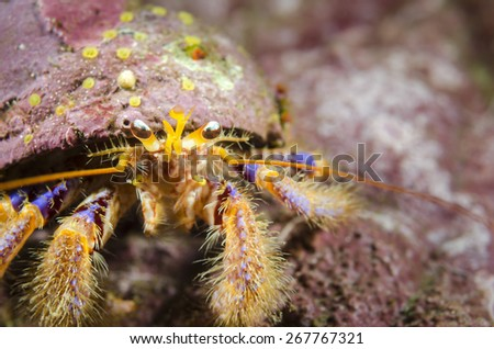 The colourful hermit crab habit rocks and other hard substrate from the southern fjords of Chilean Patagonia. Use empty shells to live and it can be found between 5 to 150 meters.  - stock photo
