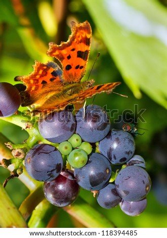 The Comma (Polygonia c-album) butterfly on grapes in summer - stock photo