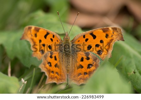 The Comma (Polygonia calbum) or anglewings butterfly in japan. - stock photo
