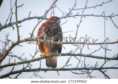 The Common Buzzard (Buteo buteo) is a medium-to-large bird of prey, whose range covers most of Europe and extends into Asia.