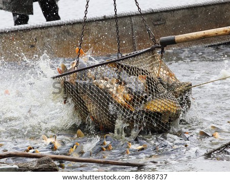 The common carp in fish net. Harvest of a pond -  It is Czech's traditional fishing technology with a very long history dating back to 1550. - stock photo