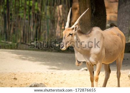 The common eland (Taurotragus oryx), also known as the southern eland or eland antelope, is a savannah and plains antelope found in East and Southern Africa.  - stock photo