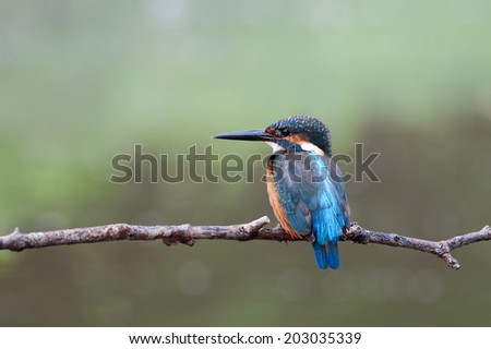 The Common Kingfisher (Alcedo atthis),Eurasian Kingfisher or river Kingfisher that immigration bird for Thailand. - stock photo