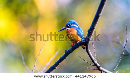 The Common Kingfisher (Alcedo atthis) or Eurasian Kingfisher or river Kingfisher adult male perched on a tree branch in japan