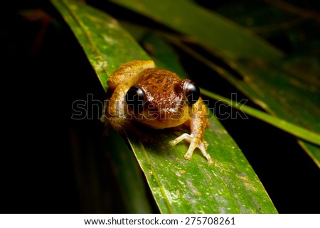 The common mist frog Litoria rheocola is native to the fast flowing streams of the wet tropics in Australia. They are only seen at night, average 35mm in size and are listed as critically endangered. - stock photo