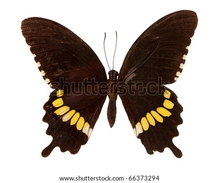 The Common Mormon butterfly. Isolated over white with clipping path