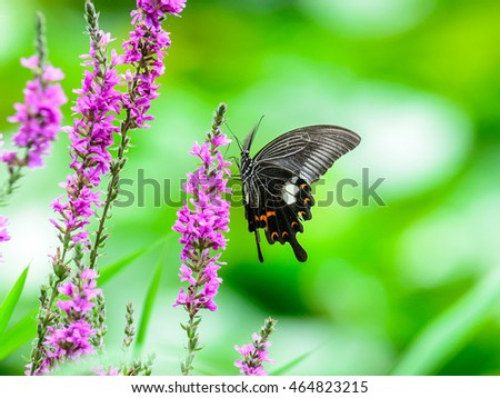 The Common Mormon (Papilio polytes) or swallowtail butterfly on a flower in japanese garden in japan.