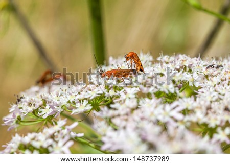 The Common Red Soldier Beetle is a medium-sized, narrow beetle commonly found on open-structured flowers, such as daises, Cow Parsley and Hogweed, during the summer. - stock photo