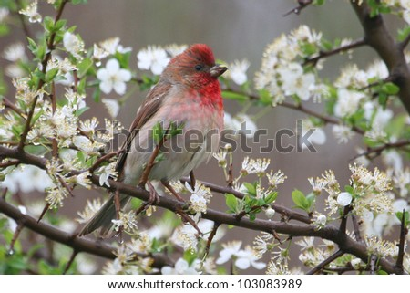 The Common Rose-finch
