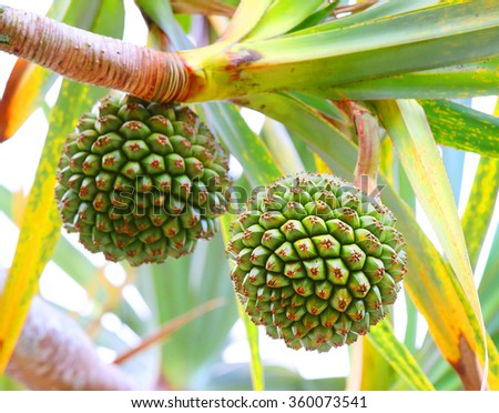 The Common Screwpine (Pandanus utilis) it is native to Madagascar, Mauritius, and the Seychelles. Very healthy and tasty fruit from tropical destinations. Closeup with shallow DOF. - stock photo