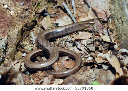 The common slow worm, which is actually a lizard.  This species is common throughout most of Europe. - stock photo
