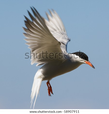 The Common Tern is a seabird of the tern family Sternidae. This bird has a circumpolar distribution breeding in temperate and sub-Arctic regions of Europe, Asia and America. / Tern fliting. - stock photo