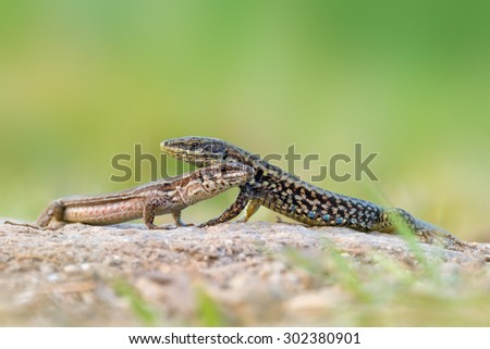 The common wall lizard - Podarcis muralis