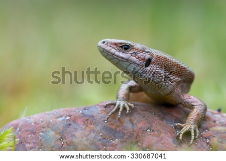 The common wall lizard - Podarcis muralis - stock photo