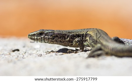 The Common Wall Lizard (Podarcis muralis) on a rock