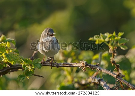 The common whitethroat (Sylvia communis) perched on a twig and singing