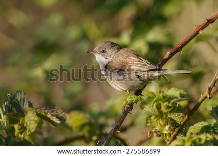 The common whitethroat (Sylvia communis) perched on a twig and singing - stock photo