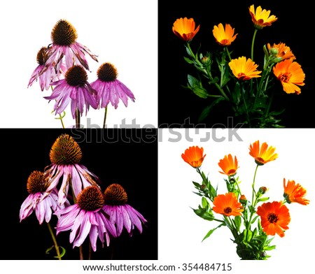 The composition of medicinal herbs. Echinacea and calendula. - stock photo