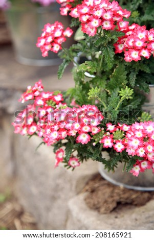 The composition of vervain planted, in a bucket on a background of blue fence. The decor of the garden. - stock photo