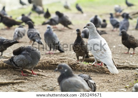 The concept of business leaders who are different,Like a white dove in a group of black pigeons, Pigeons on the Grass - stock photo