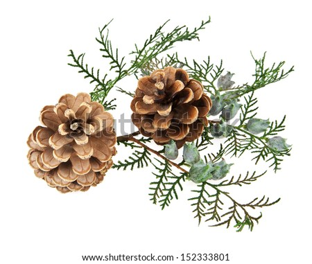 the cones and the branch of a tree on a white background - stock photo