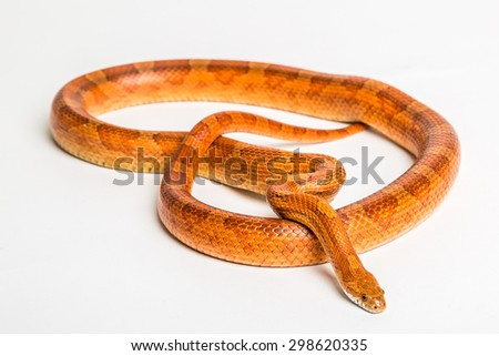 The corn snake is a North American species of rat snake that subdues its small prey by constriction. Iolated on white background. . - stock photo