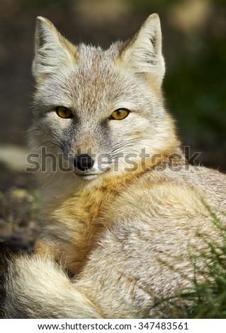 The corsac fox (Vulpes corsac)  - stock photo