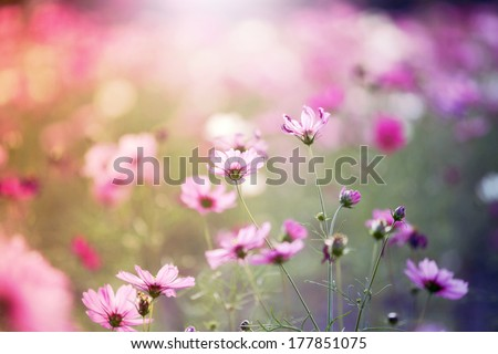 The cosmos flower, beautiful cosmos flowers with color filters and noon day sun. - stock photo