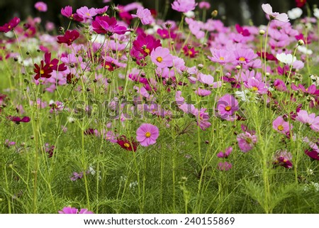 the cosmos flower in the garden for background