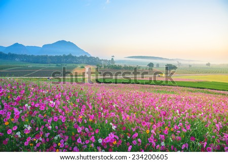 The Cosmos Flower of grassland - stock photo