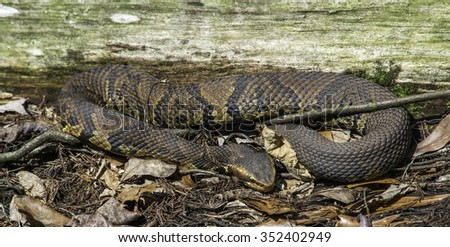 The Cottonmouth snake (Agkistrodon piscivorus) curls up at the Francis Beidler Forest in South Carolina. It is the world's only semiaquatic viper found in or near water, streams,  marshes, and swamps. - stock photo