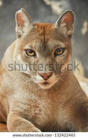 The cougar, also known as the puma - stock photo