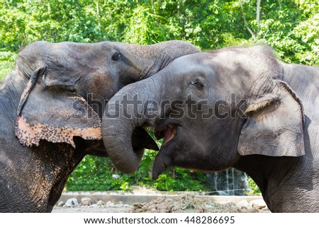 The couple elephant are touching for love.