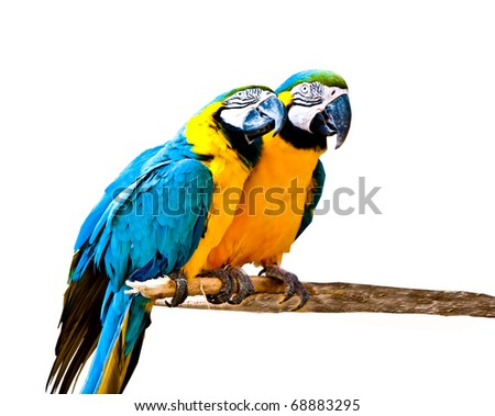The Couple of beautiful macaws isolated on white background