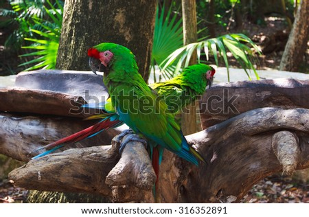 The couple of green parrots macaws in Xcaret park Mexico - stock photo