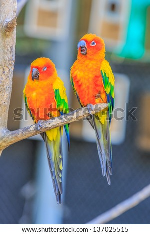the couple of Sun Conure Parrot Birds on a tree branch
