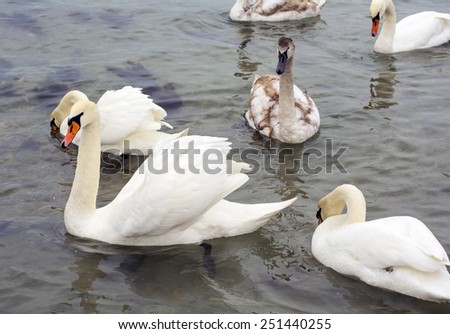 The covey of swans floats in water - stock photo