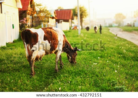 The cow eats the grass going through the village. - stock photo