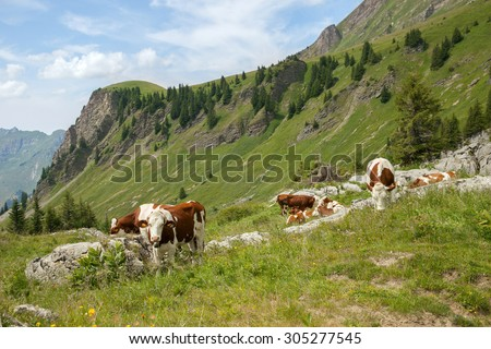 The cow flock feed on cattle range in european Alps - stock photo