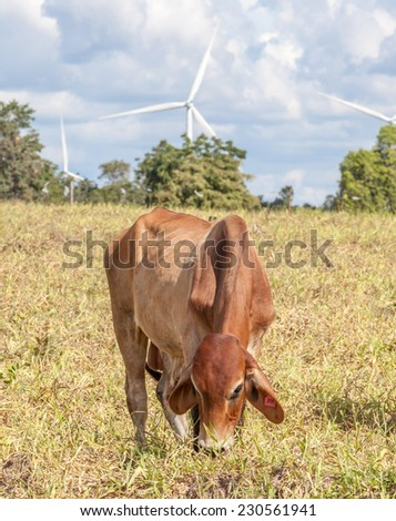 The cow in farmland is grazing next to windmill farm on a bright sunny day near wind power plant in Thailand. - stock photo