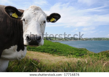 The cow of Ireland,cow of European Union, - stock photo