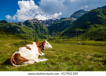The cow with bell lie down on pasture. View with alp mountain pasture. - stock photo