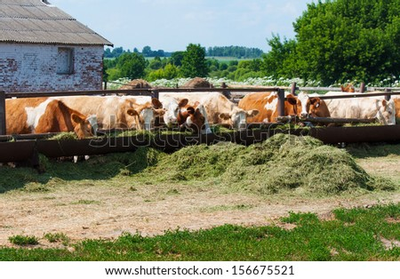 The cows eat silage feeders before the evening milking - stock photo
