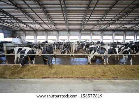 The cows in the stable in dairy farm eating straw through fences - stock photo