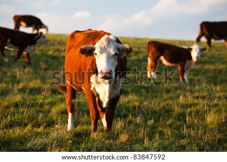 The Cows on a summer pasture - stock photo