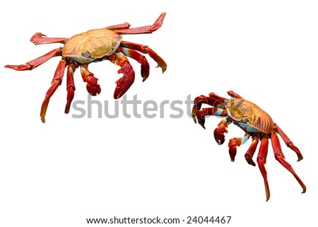 The crab Grapsus grapsus is one of the most common crabs along the western coast of South America. It is one of the many charismatic species that inhabits the Gal���¡pagos Islands. - stock photo