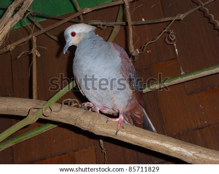 The Crested Quail-Dove (Geotrygon versicolor) is a species of bird in the Columbidae family. It is endemic to Jamaica. - stock photo