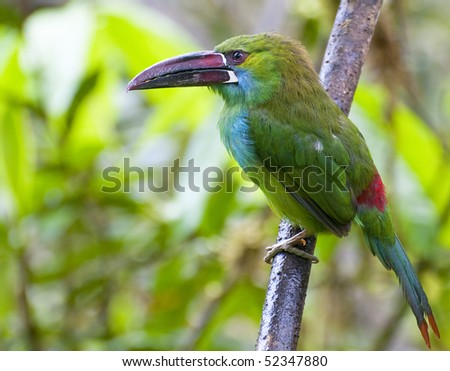 The crimson rumped toucanet is a bird of the Ecuadorian rain forest - stock photo